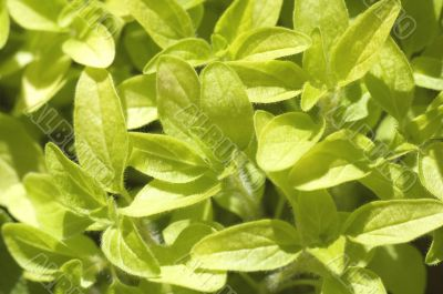 fresh herbs. oregano