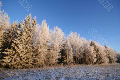 Frosen forest