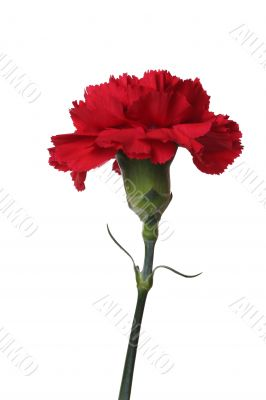 Red carnations are the flowers of victory.