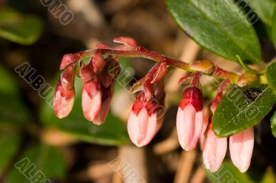 The cowberry blossoms