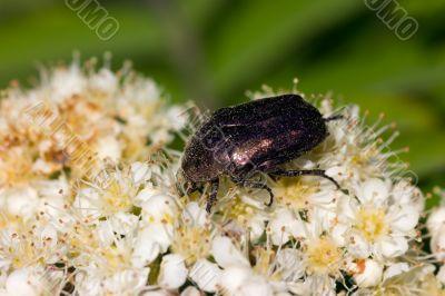 Beetle on the flowers