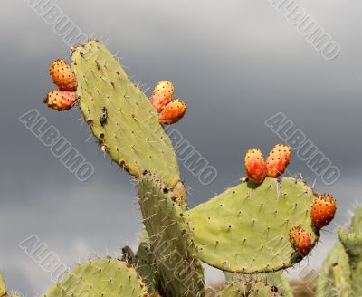 Fruits of tzabar cactus