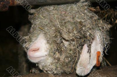 Devon Longwool sheep