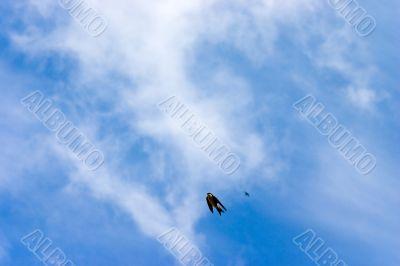 Swallow in skies