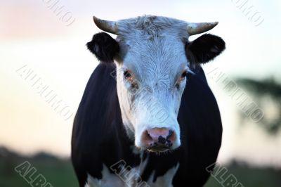 Sad cow