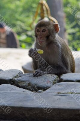 Monkey eating a yellow candy