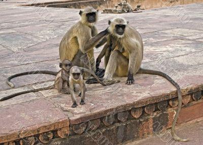 Two monkey`s family