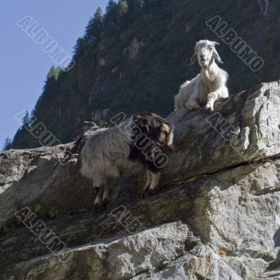 Two goats relaxing on the rock
