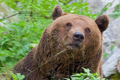 The kind brown bear