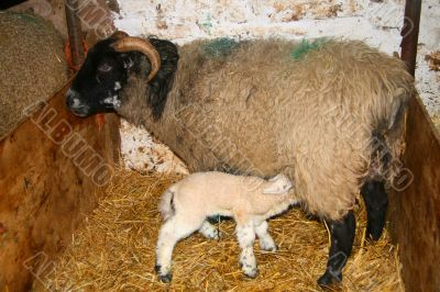 Lamb feeding from it`s Mother
