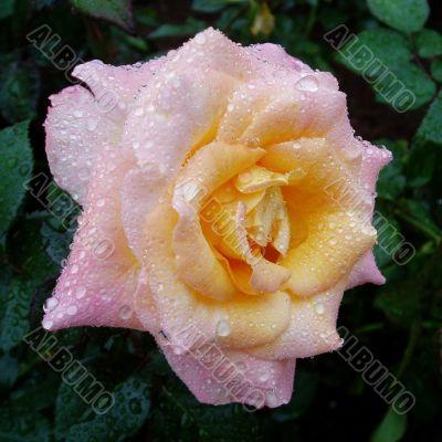 Rose covered in rain drops.