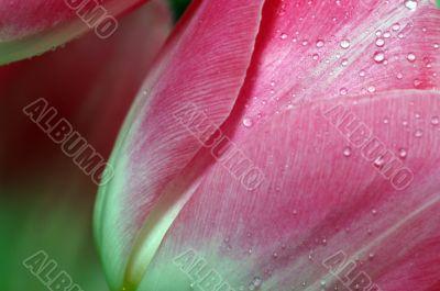 Lots of pink tulips`s petals.
