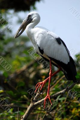 Black white open bill stork bird