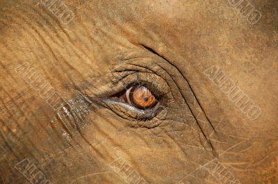 Baby Elephant`s Eye