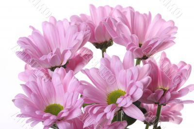 Pink chrysanthemum.