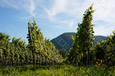 Austrian Vineyard in Danube walley