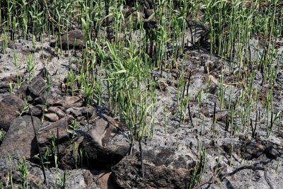 Grass grows through ashes