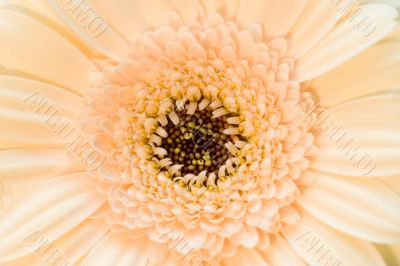 The pink beige flower close-up macro