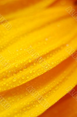 beautiful sunflower petals closeup
