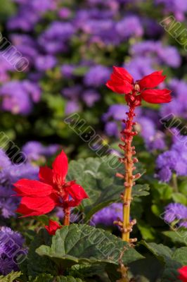 Red among lilac