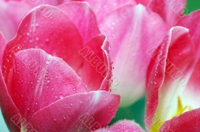 Lots of pink tulips`s petals