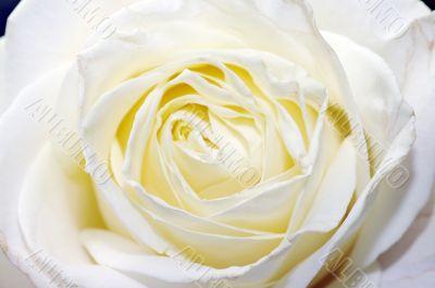 a close-up of white rose petals