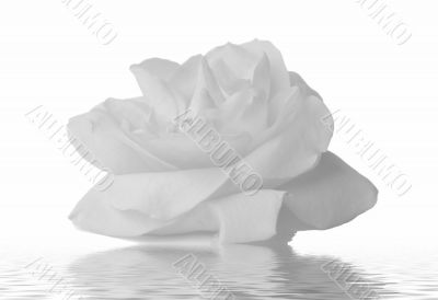 Rose water on a white background