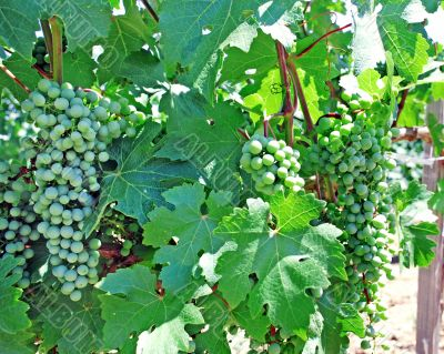 vine and grapes background