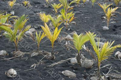 Coconut Plants