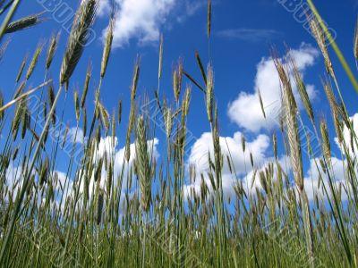 Rye on sky