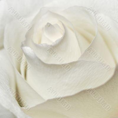 White petals of rose