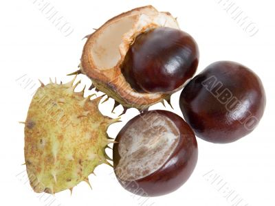 The great English Conker Horse Chestnut