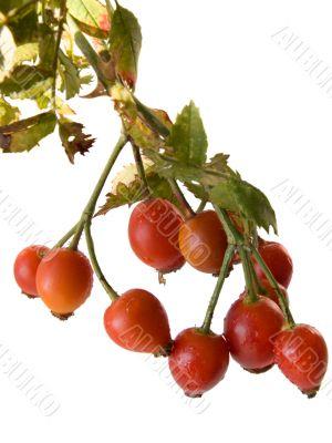 Red berries hips