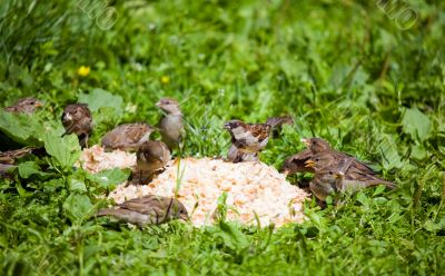 Hungry sparrows