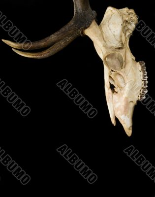 Horns of deer