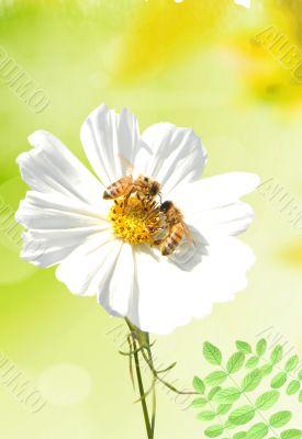 Daisy and a bee