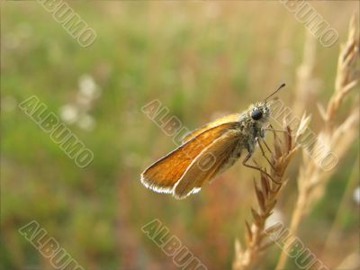 A Butterfly In An Ear