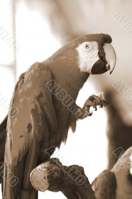 red macaw eating sepia