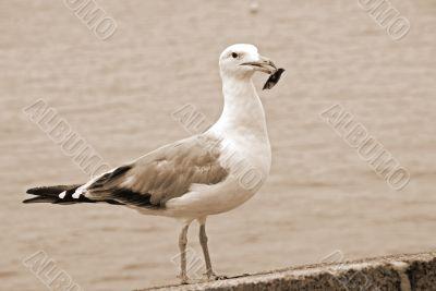 Herring Seagull sepia