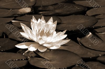 White Water Lily Flower sepia