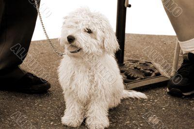 Poodle Dog Staring sepia