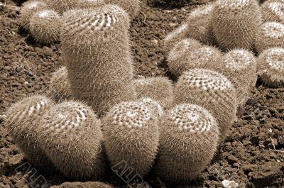 Cactus Mammillaria Geminispina Plants sepia