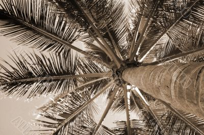 High Rising Palm Tree sepia