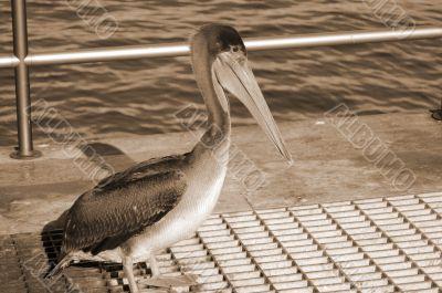 Pelican Bird sepia