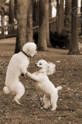 Poodle Dogs Playing in Park sepia