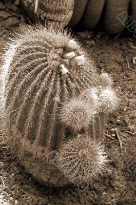 Cactus Notocactus Claviceps sepia