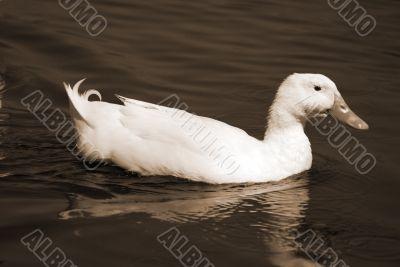 Snow Goose sepia