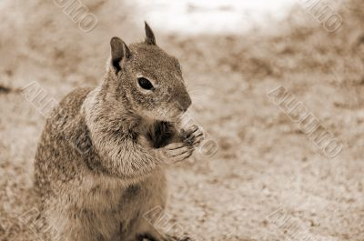 Squirrel sepia
