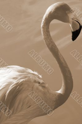 Flamingo Bird Closeup sepia