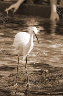 Watchful Crane Bird sepia